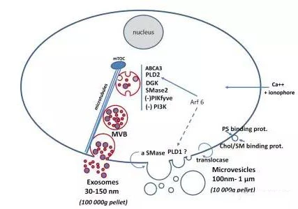 Extracellular vesicles play an active role in the immune system of lymph nodes